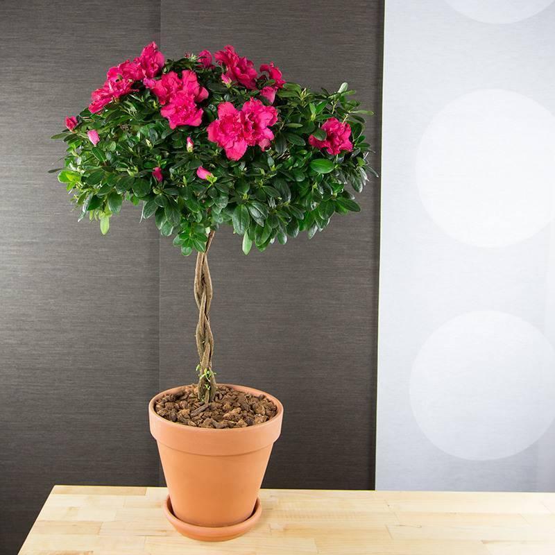 Растение, требующее особого внимания – белая азалия. описание вида и правила ухода за цветком