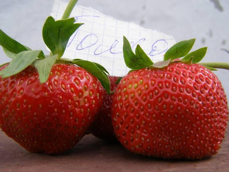Клубника полька описание сорта фото отзывы садоводов