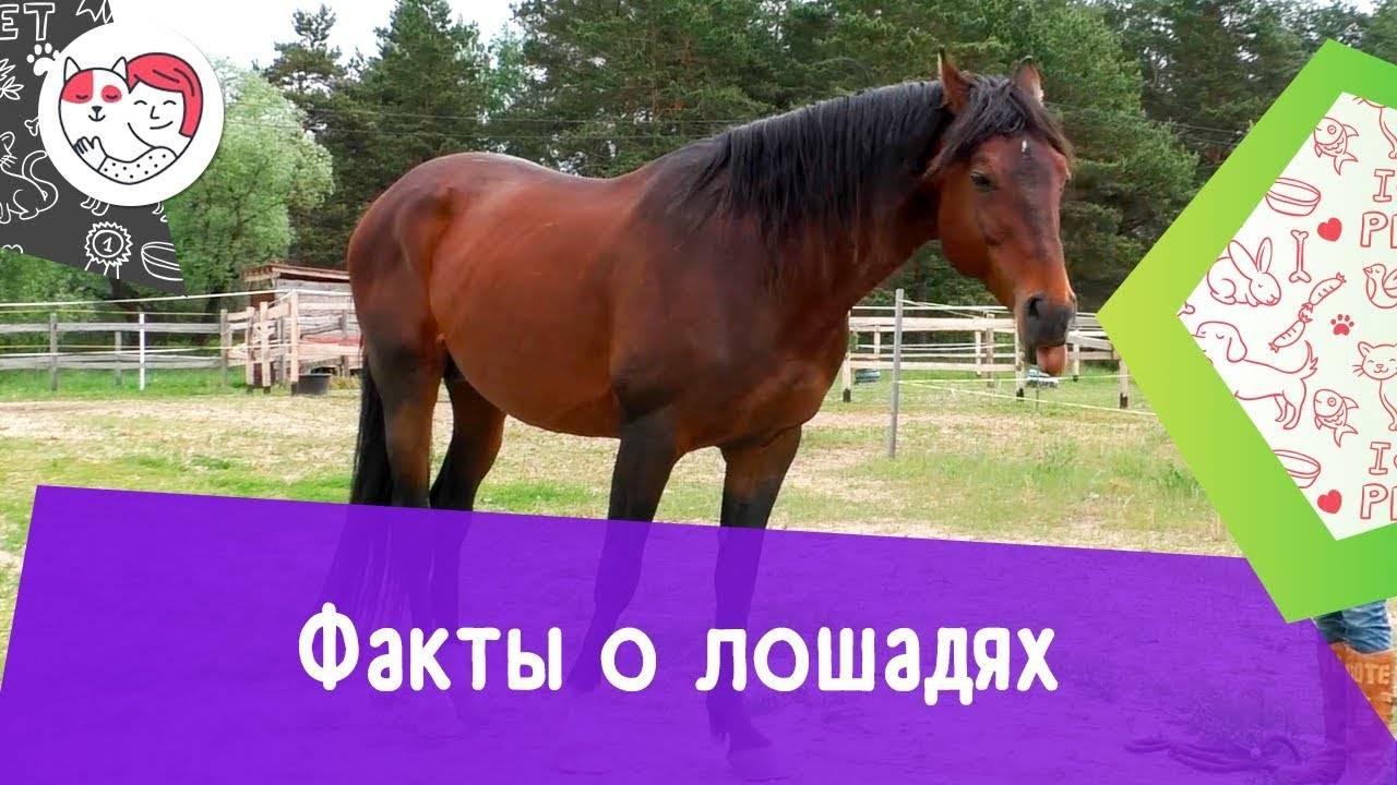 Характеристика марварской лошади