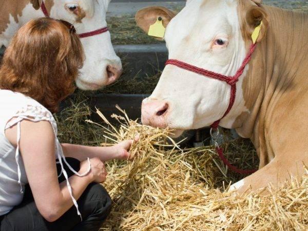 Ярославская порода коров: характеристики, фото и отзывы о породе