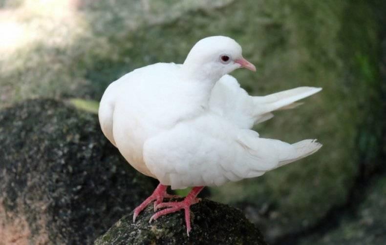 Ласота для голубей – против болезни ньюкасла