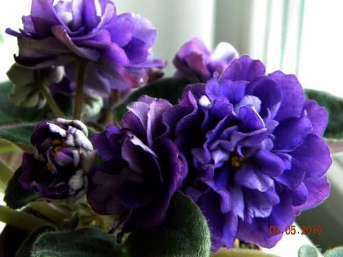 Фиалка «черная жемчужина»: описание сорта, особенности посадки и ухода - ваш сад