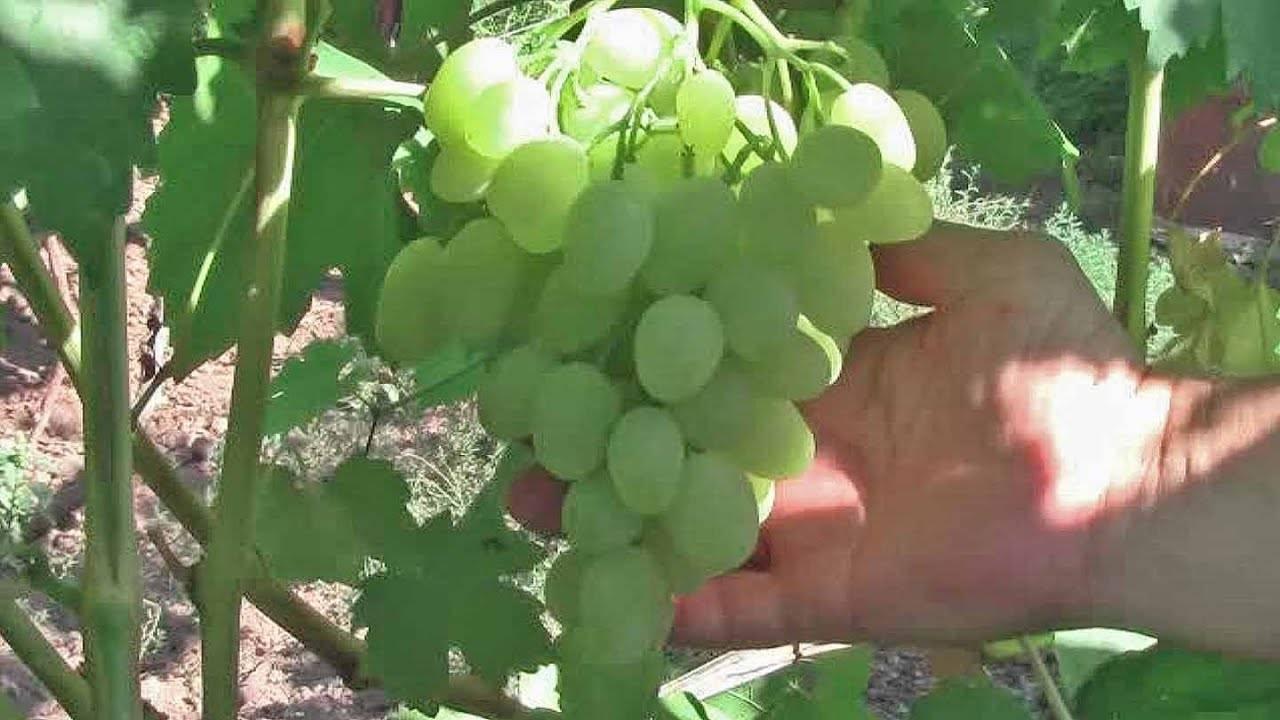 Зарница — описание сорта винограда и особенности выращивания