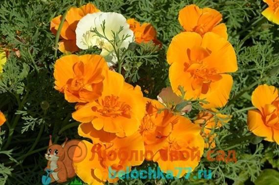 Эшшольция - советы по выращиванию: уход, посадка и пересадка, удобрения и грунт питэр пит, поливка, обрезка, болезни и вредители