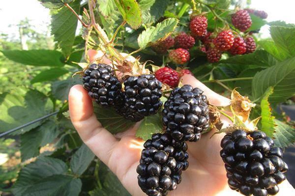 Ежевика торнфри: описание сорта с характеристикой и отзывами, особенности посадки и выращивания и ухода, фото
