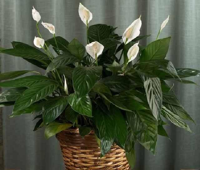 Почему чернеют цветы «женского счастья»? как помочь спатифиллуму?