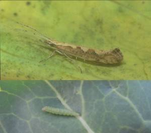 Капустный вредитель бабочка белянка