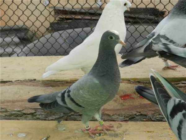 Голуби типплеры фото. английские типплеры — рожденные летать высоко