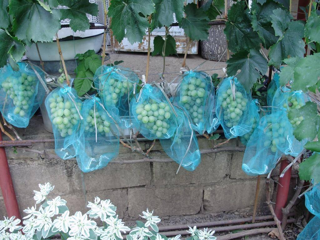 Новый подарок запорожью – подарок для начинающих садоводов-виноградарей