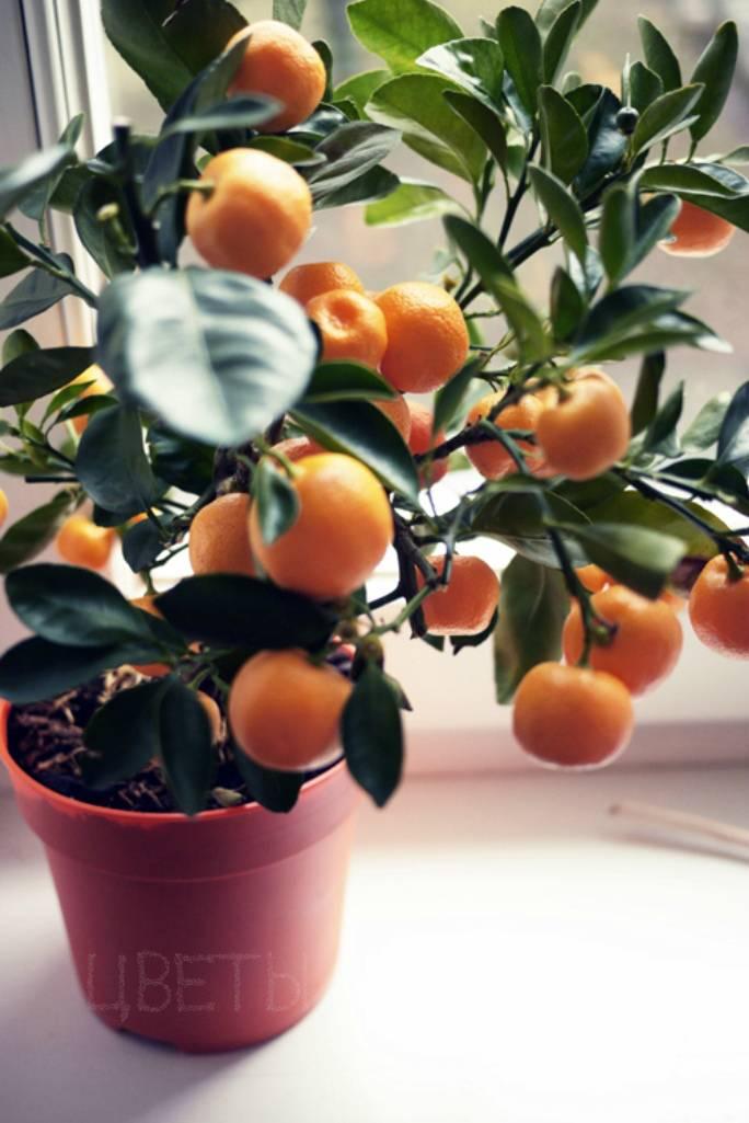 Где растут апельсины и как, особенности посадки и выращивания комнатного вида
