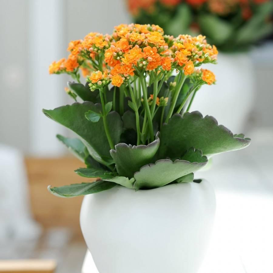 Варианты по уходу за цветком каланхоэ: дома, после покупки или в горшке