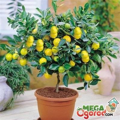 Прививка лимона в домашних условиях