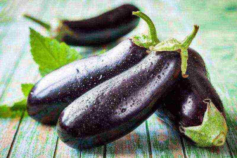 Баклажаны - выращивание рассады. как посадить рассаду баклажан