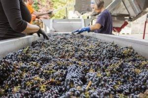 Виноград фурор - описание сорта, фото, отзывы