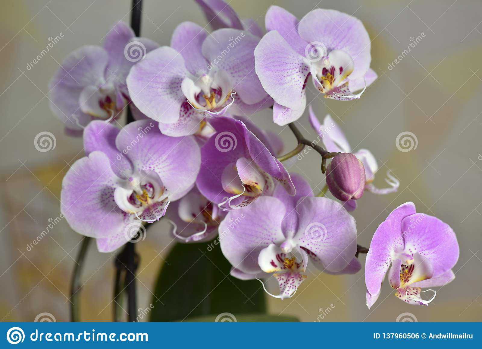 Фаленопсис, орхидея phalaenopsis. все что надо знать о ней.