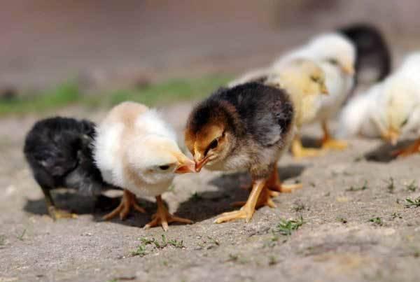 Что делать, если цыплята клюют друг друга до крови