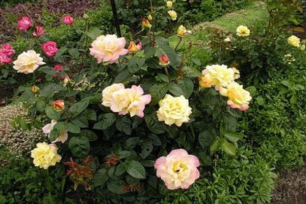 Роза глория дей (gloria dei): фото, отзывы, описание, характеристики.