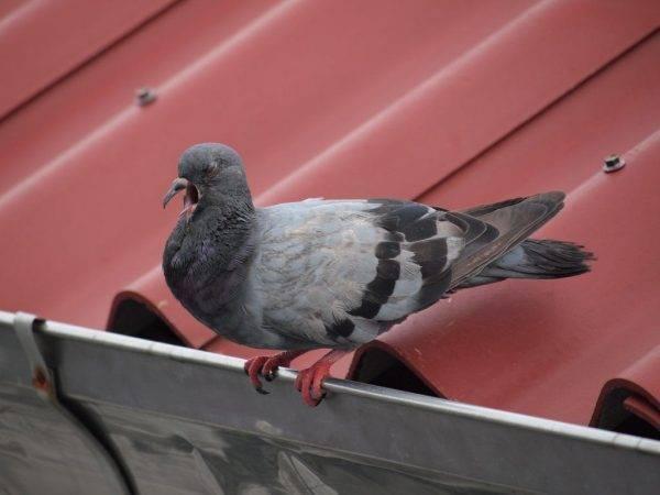 Болезнь ньюкасла: симптомы и лечение вертячки у голубей