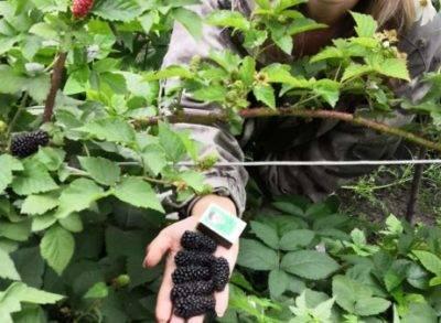 Ежевика карака блэк: описание сорта и 6 правил выращивания