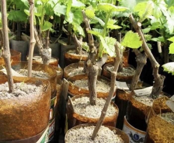Заготовка и хранение черенков яблони для прививки весной