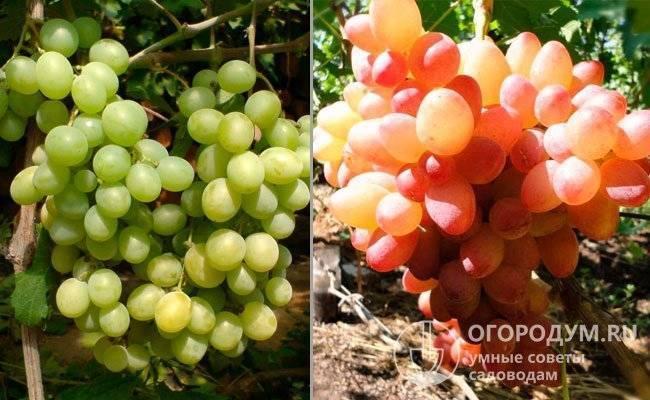 ✅ виноград кишмиш «запорожский»: описание сорта, фото - tehnoyug.com