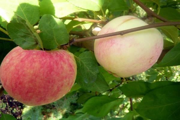 Бельфлер-китайка: описание, посадка и уход за яблоней