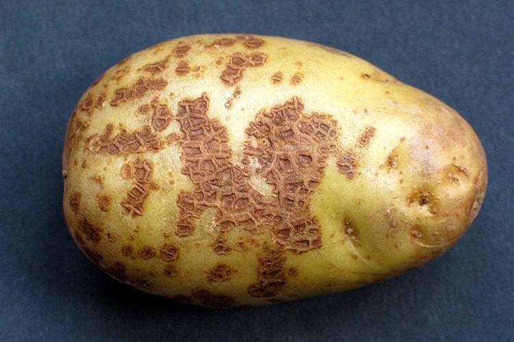 Парша картофеля: виды, признаки, эффективные меры борьбы