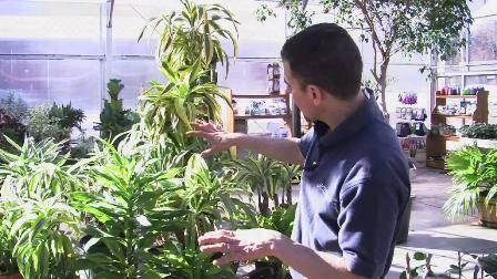Почему у драцены сохнут листья, причины и лечение