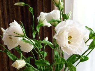 Эустома, или лизиантус: посадка, уход, выращивание из семян в домашних условиях и в открытом грунте, в том числе многолетних сортов. фото разных серий цветов.
