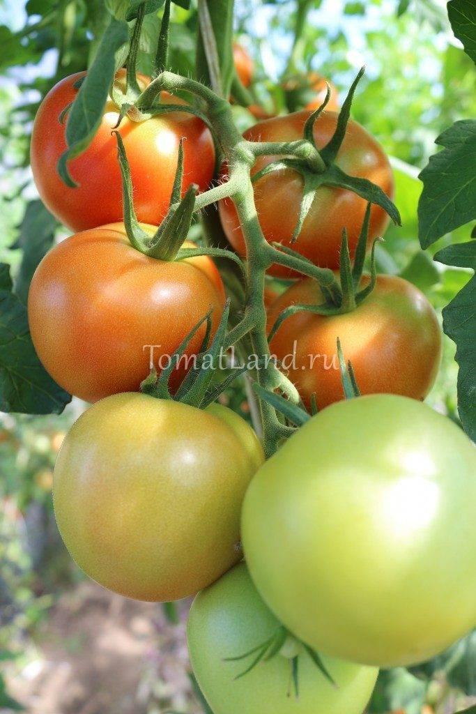 Традиционные помидоры в теплице: выращивание и формирование куста
