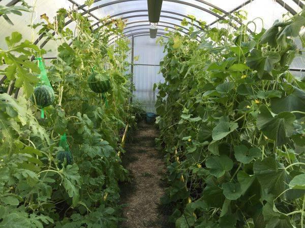 Как вырастить арбузы в теплице из поликарбоната, посадка и уход