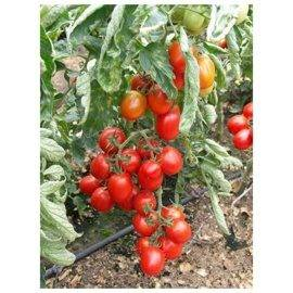 40 руб. томат перфектпил f1. 50 семян. seminis. голландия. красноплодный дет в ог. профессиональные семена. продажа по всей россии! быстрая доставка!