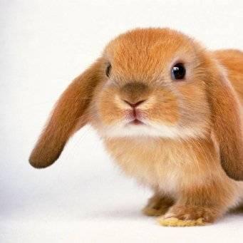 Кролик красный новозеландский: описание породы, уход и содержание