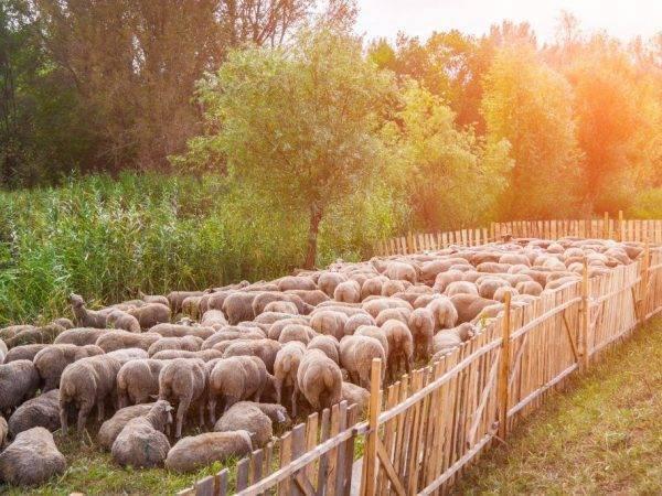 Молочные породы овец: описание цигайской породы, породы ассаф и других. особенности ухода. сколько дают молока? какие молочные породы распространены в российском овцеводстве?