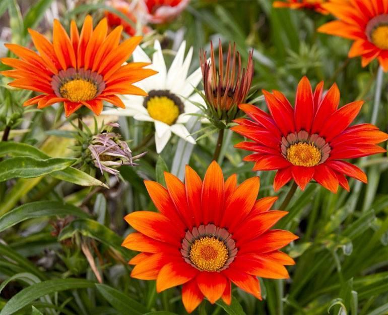 Гацания — фото цветка, выращивание, посадка и уход в открытом грунте