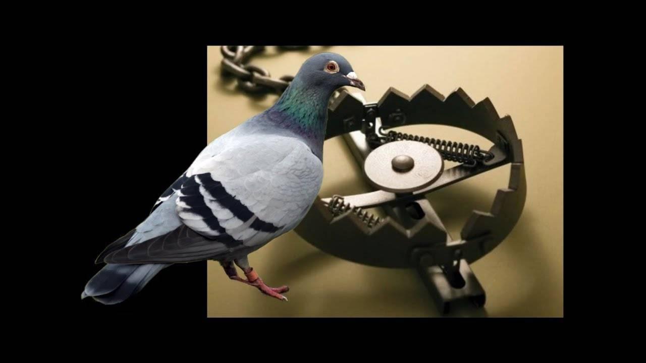 Как отличить голубя от голубки — основные способы