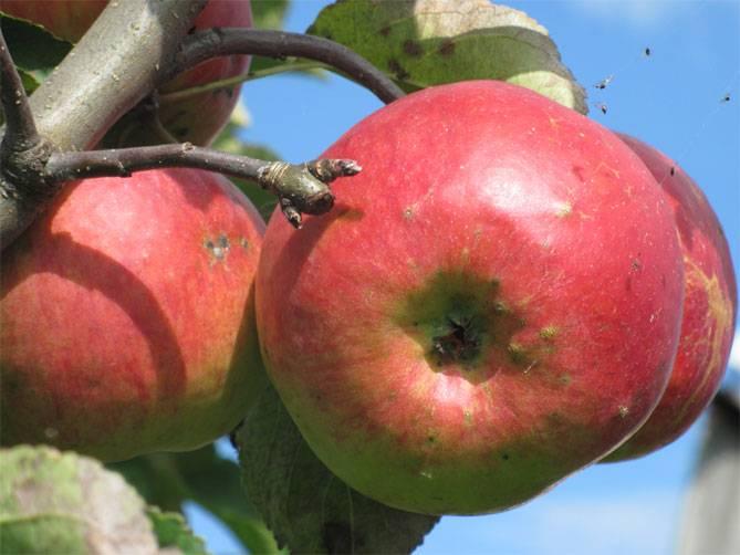 Сорт яблони жигулевское: описание, отзывы, видео и фото