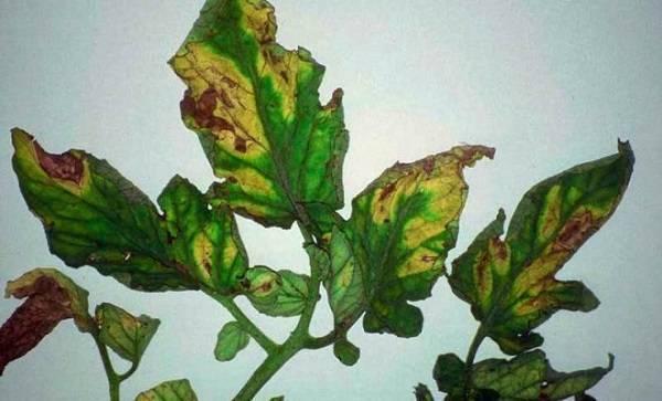 Листья рассады баклажанов: что делать, если скручиваются, почему семядольные морщинистые, волнистые и сворачиваются, также причины деформации и фото гофрированных