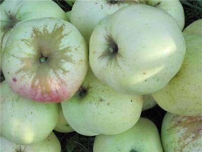 Сорт яблок антоновка, описание, характеристика и отзывы, а также особенности выращивания