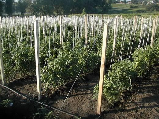 Способы подвязки помидоров в открытом грунте