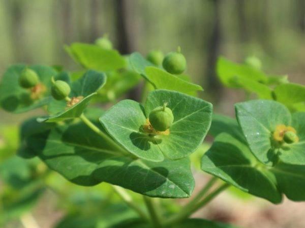 Молочай палласа: лечебные свойства уникального растения