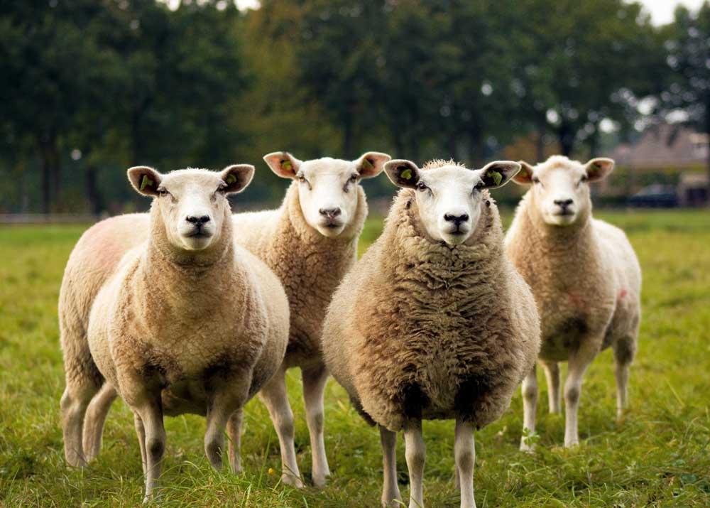 Разведение овец: бизнес-план, как начать с нуля