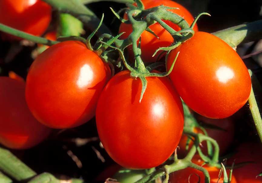 Томат гибридный ранний гигант f1: описание культуры, агротехника, отзывы