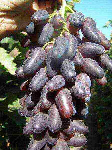 Виноград дамские пальчики с косточками или без