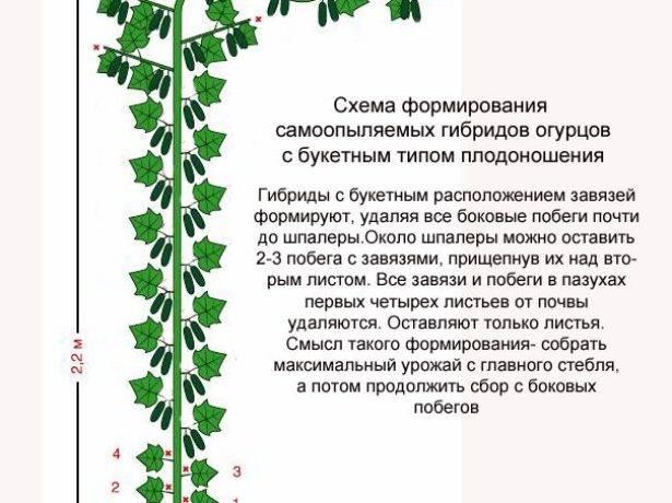 Супеурожайный огурец «всем на зависть f1»: характеристика гибрида и отзывы о выращивании