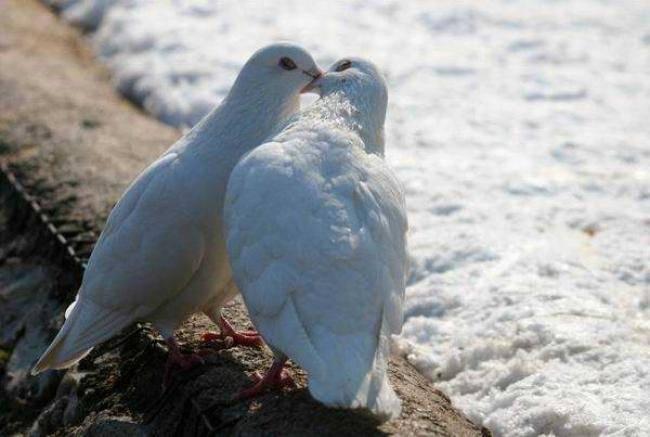 Как размножаются голуби: спаривание птиц и выведение потомства