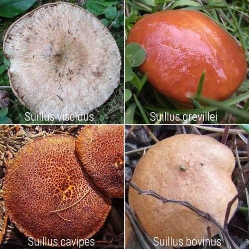 Как выглядят съедобные маслята и где они растут? | рутвет - найдёт ответ!
