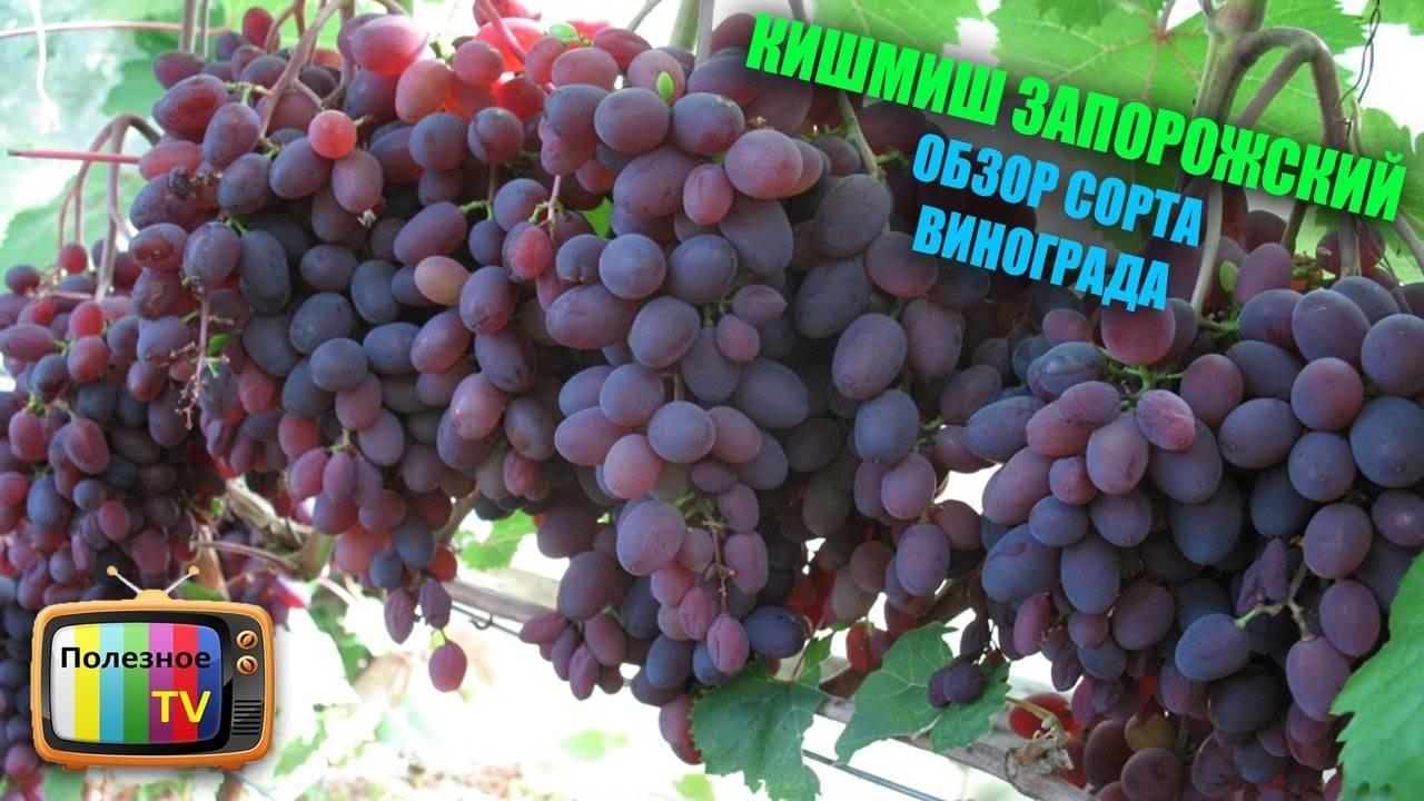 Кишмиш - что такое виноград киш миш, бывает с косточек или без