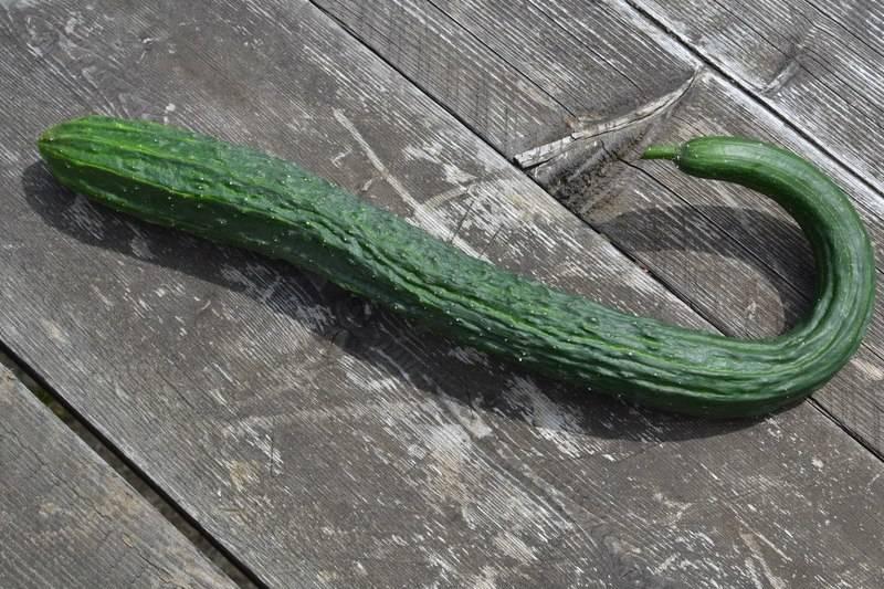 Описание сорта огурцов Китайский змей — как поднять урожайность