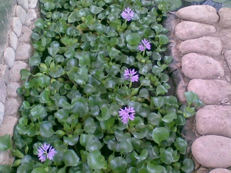 Водяной гиацинт (эйхорния отличная) – растение для водоемов: описание, посадка и уход